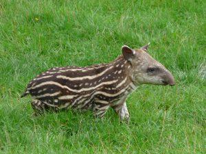 baby-tapir
