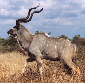 kudu-bull1