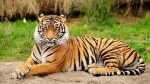 amazing-tiger-wallpaper